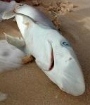dead-shark.jpg